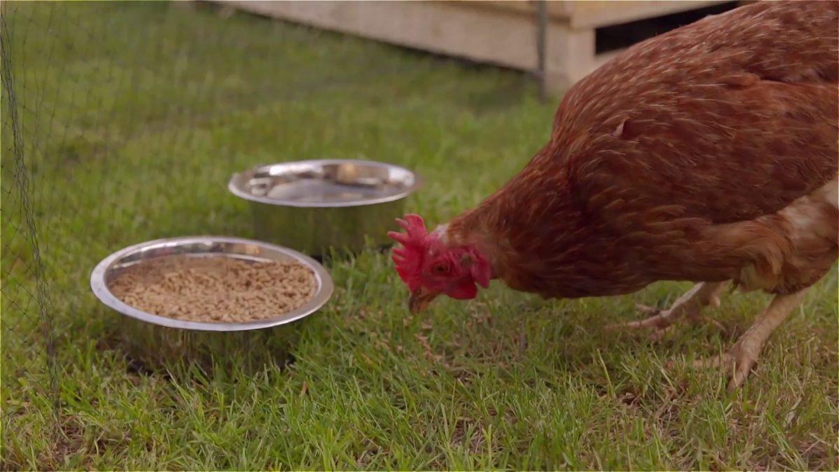 Ja, sie haben einen Vogel. Sogar zwei. Luna und Babette geben aber wenigstens ein Ei pro Tag.